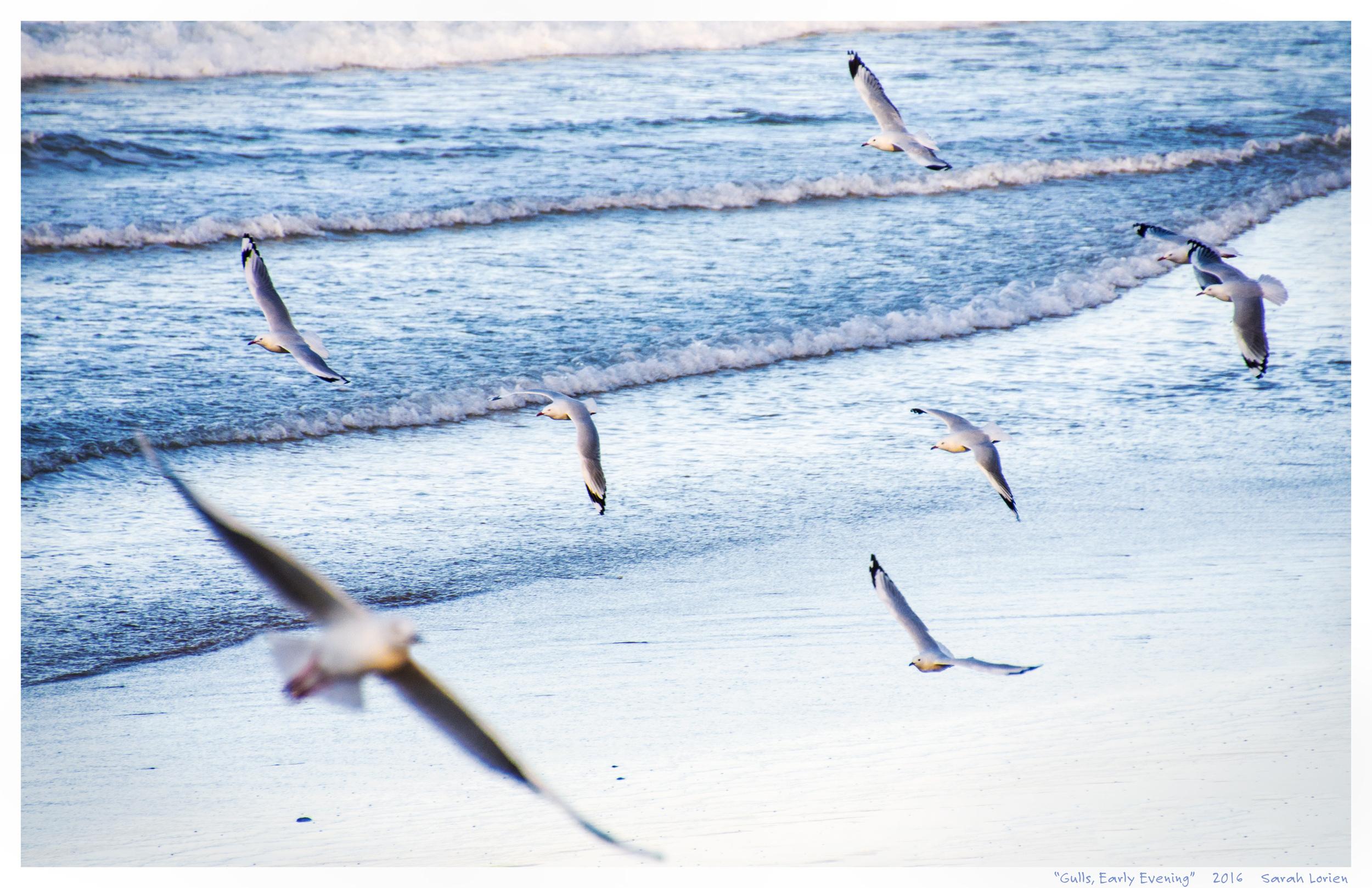 Seagulls swooping above evening waves, photo Sarah Lorien April 2016
