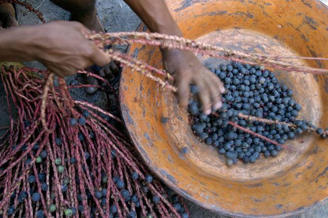 harvesting-acai.jpg