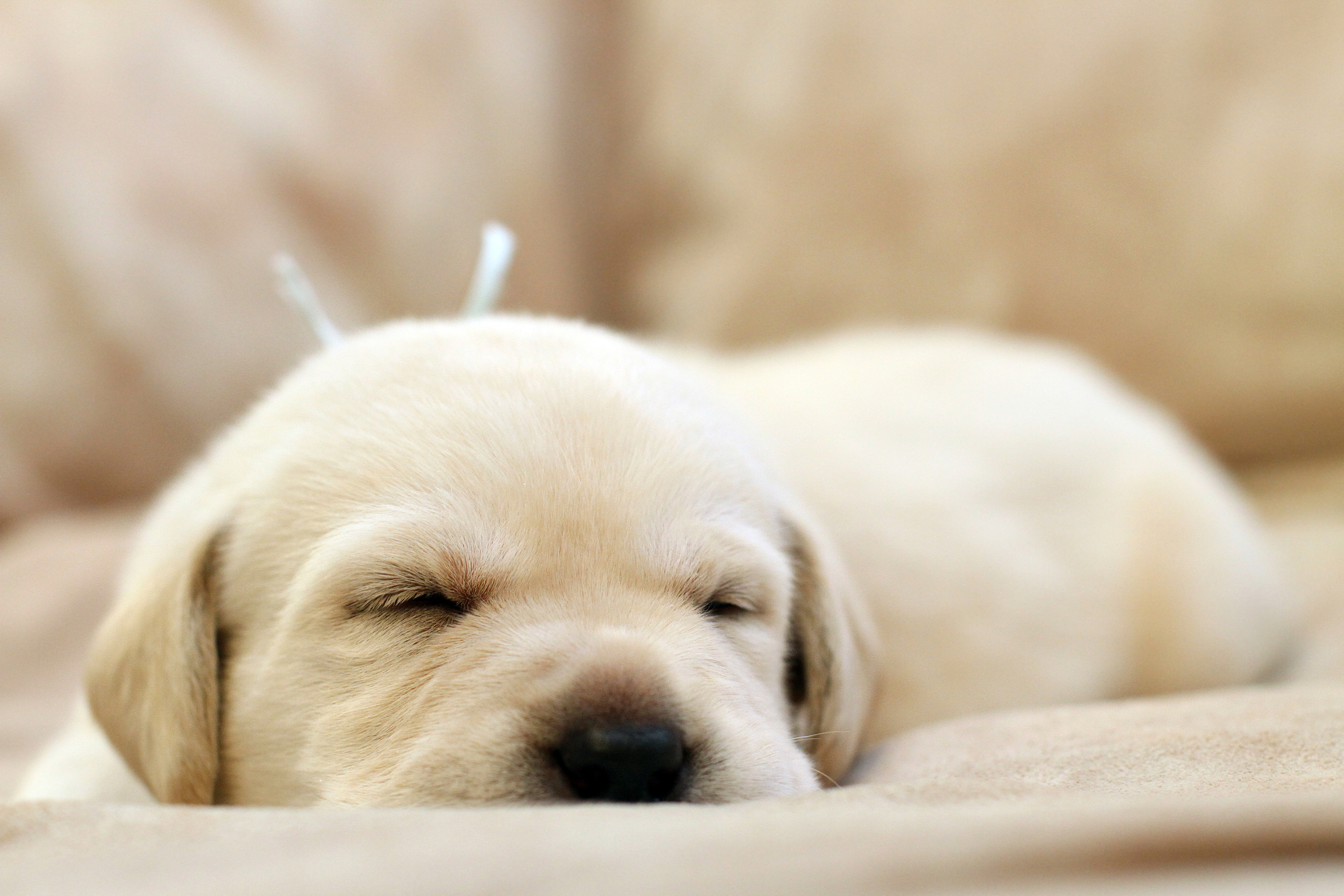 bigstock-Sweet-Yellow-Labrador-Puppy-Po-54292982.jpg