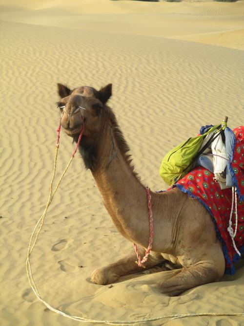 camel+sitting.jpg