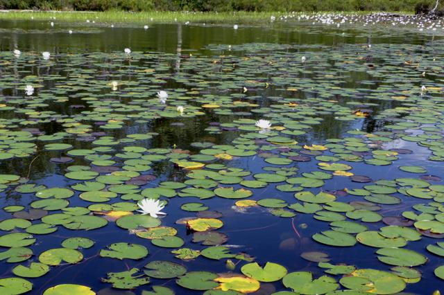 Field of Waterlilies.png