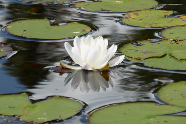 Silvery Waterlily.png
