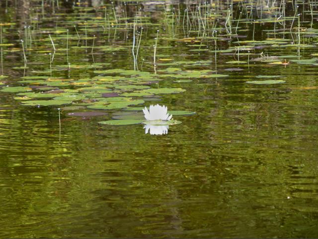 Single waterliliy.png