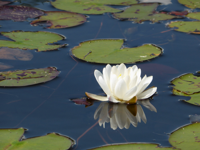 Waterlily reflection.png
