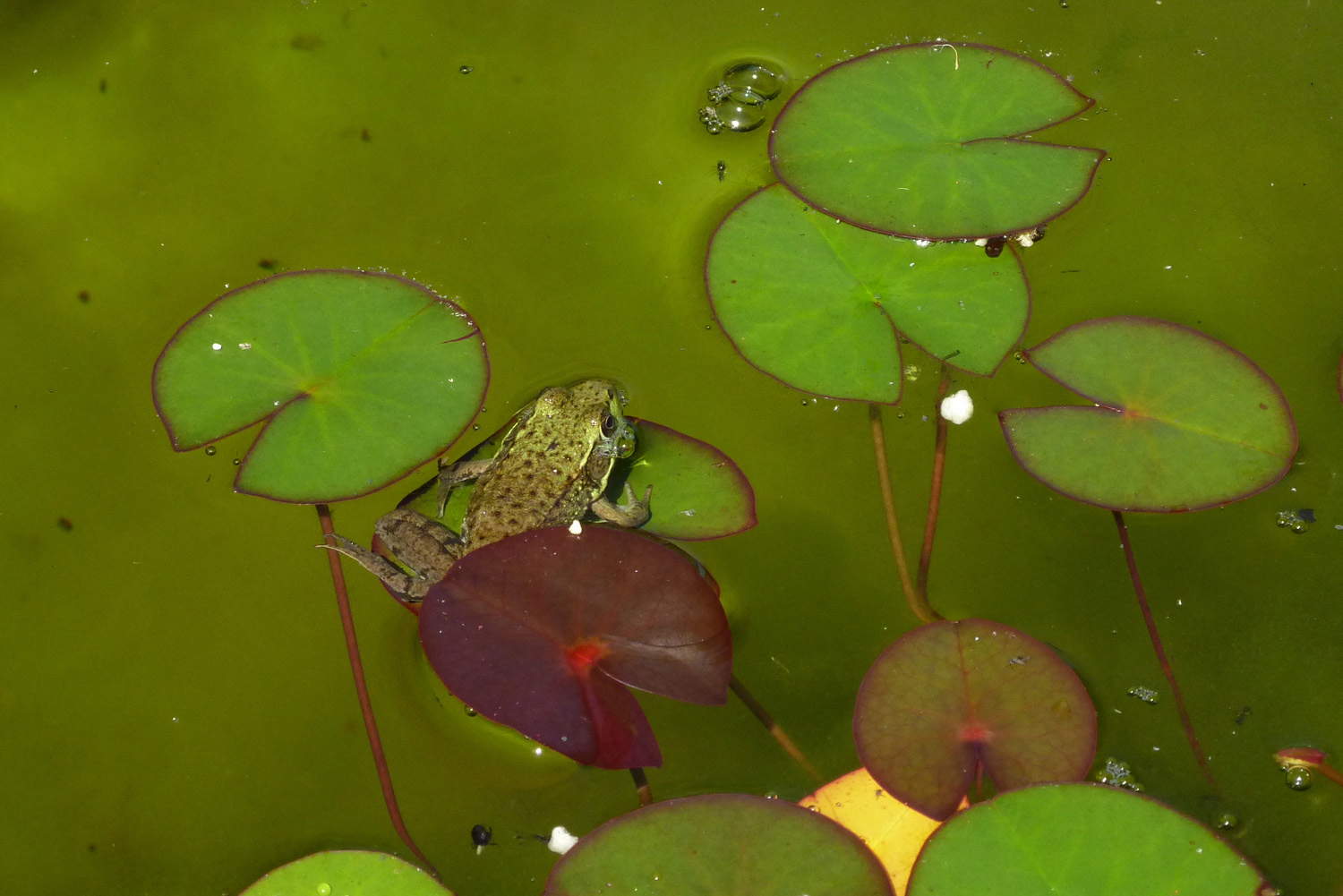 Frog and lily pads.jpg