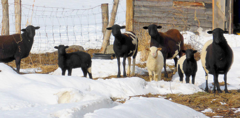 Kamins_Group of Sheep_Photograph.jpg