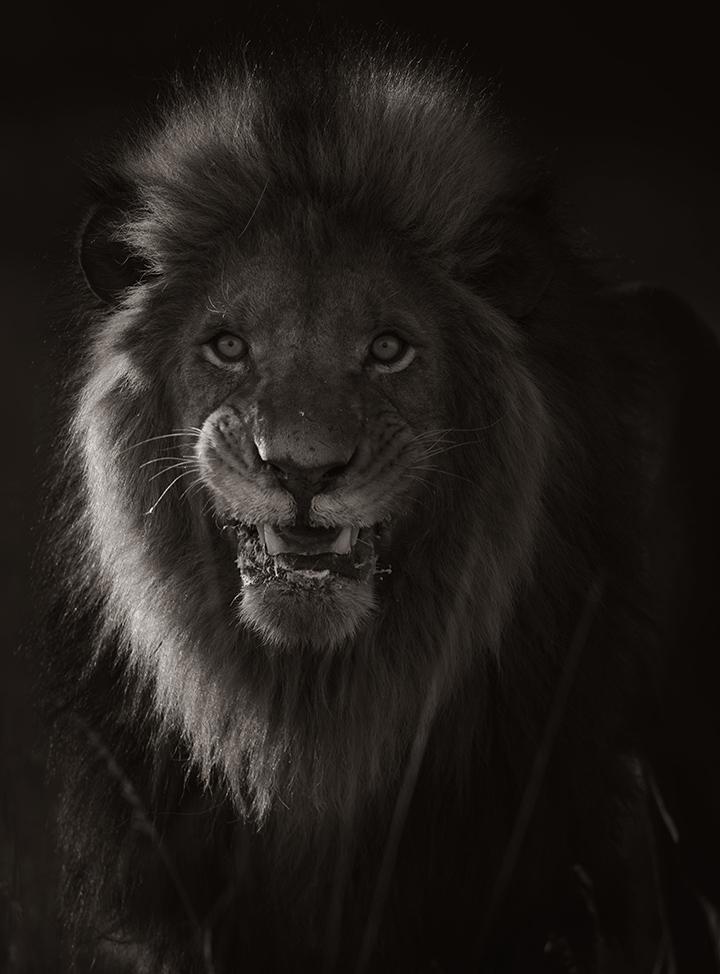 "Untitled (Lion)  Gary Lankford GLK121 Archival Pigment Print on ENDURA Premier Metallic Paper 36"" x 29.75"""