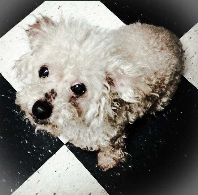 Since I opened Mpulse Studio, my 13 year old poodle, Charlotte, has been a guiding inspiration in my work. She lounges around my studio, keeping me focused for hours on end as I develop and hand build each and every piece of jewelry. Her sweet face and loving demeanor represent an undeniable whimsical sophistication...