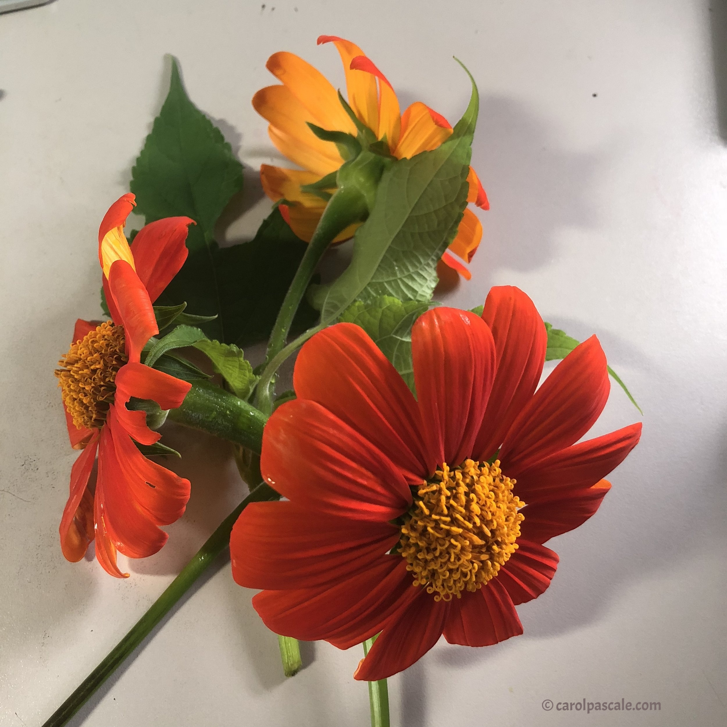 mexican-sunflowers.JPG