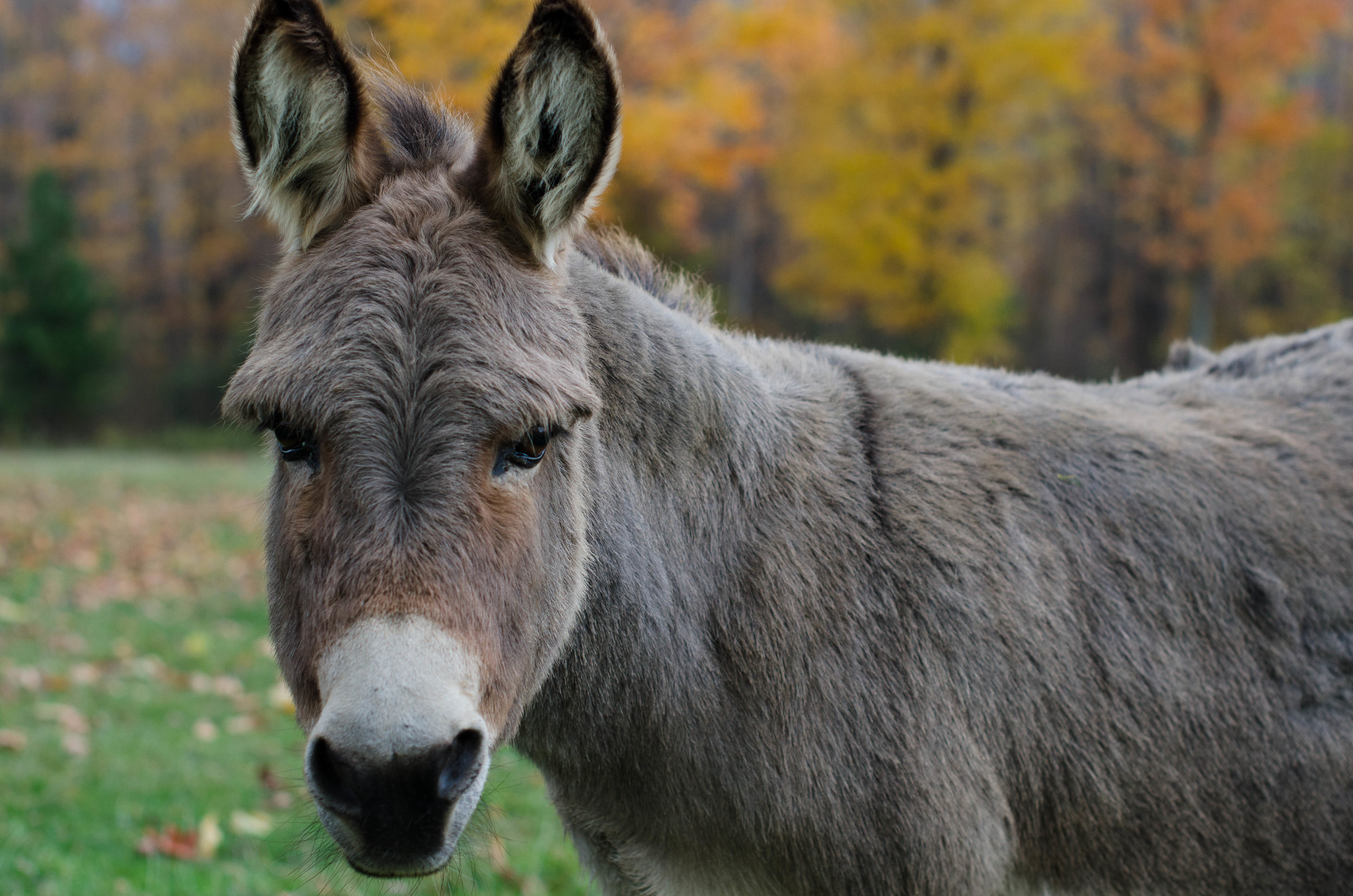 One of the three donkeys on the farm
