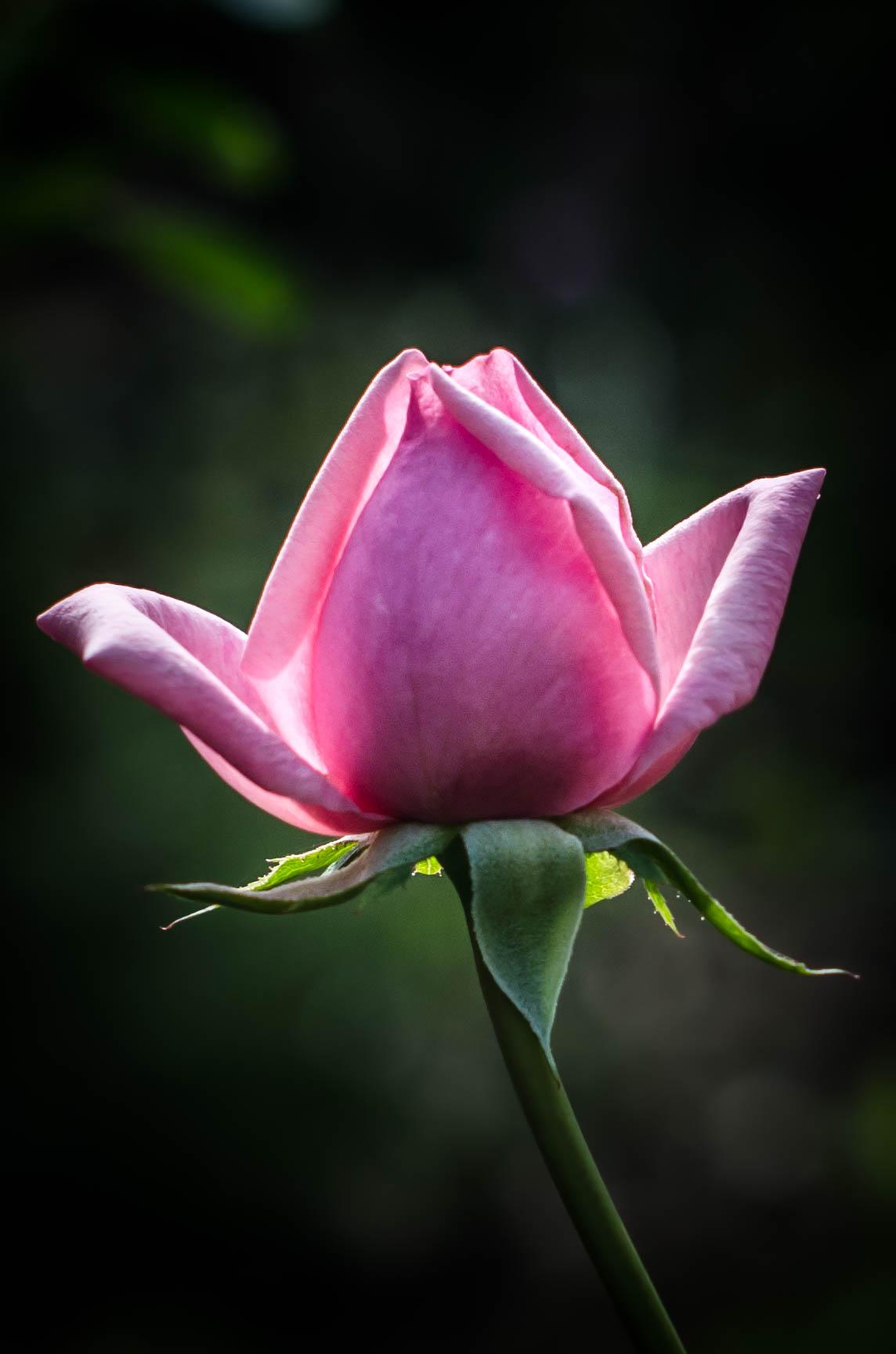ROSE & IVY Journal A Rose Garden
