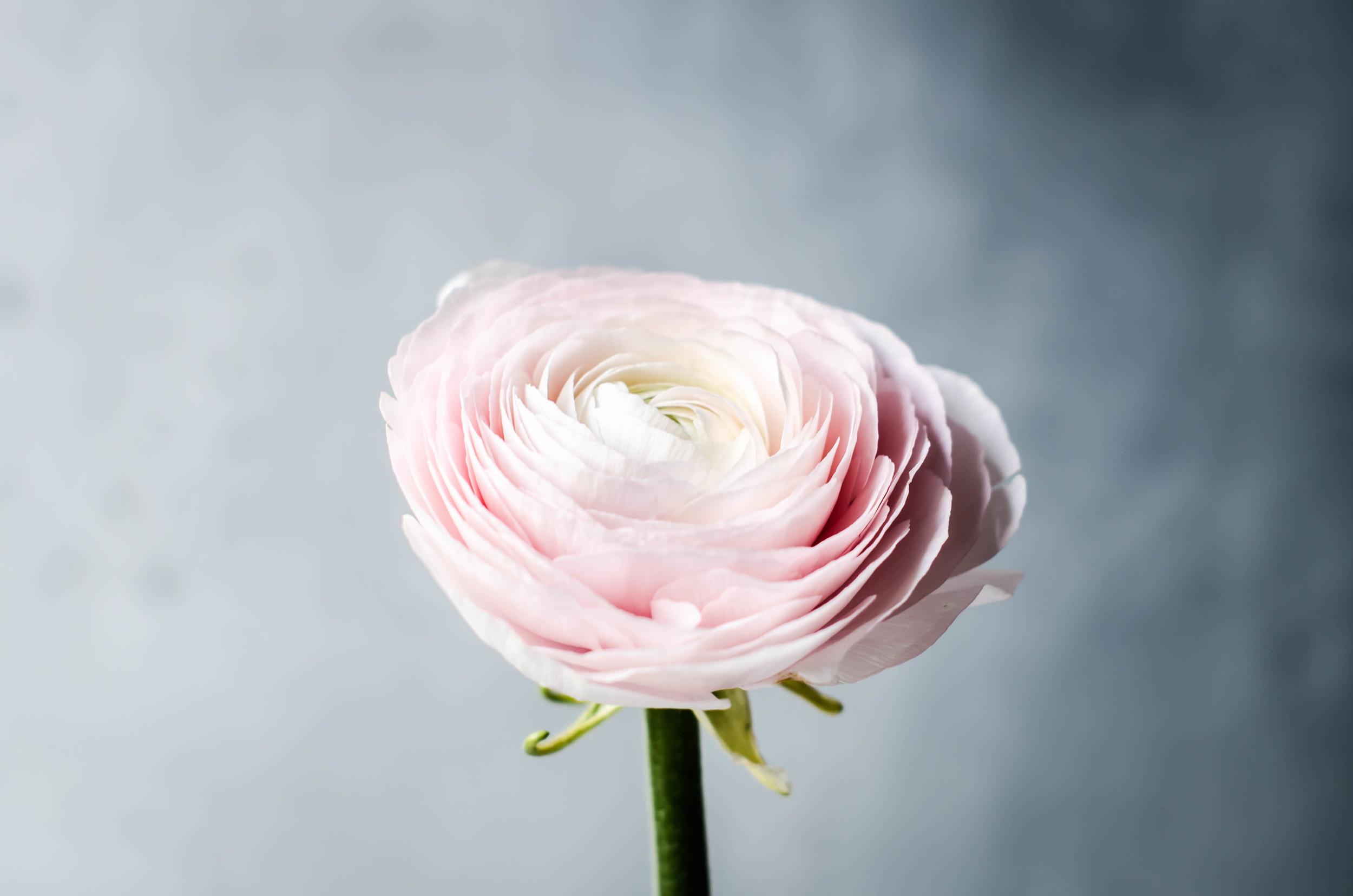 ROSE & IVY Journal Petal by Petal Cluny Ranunculus