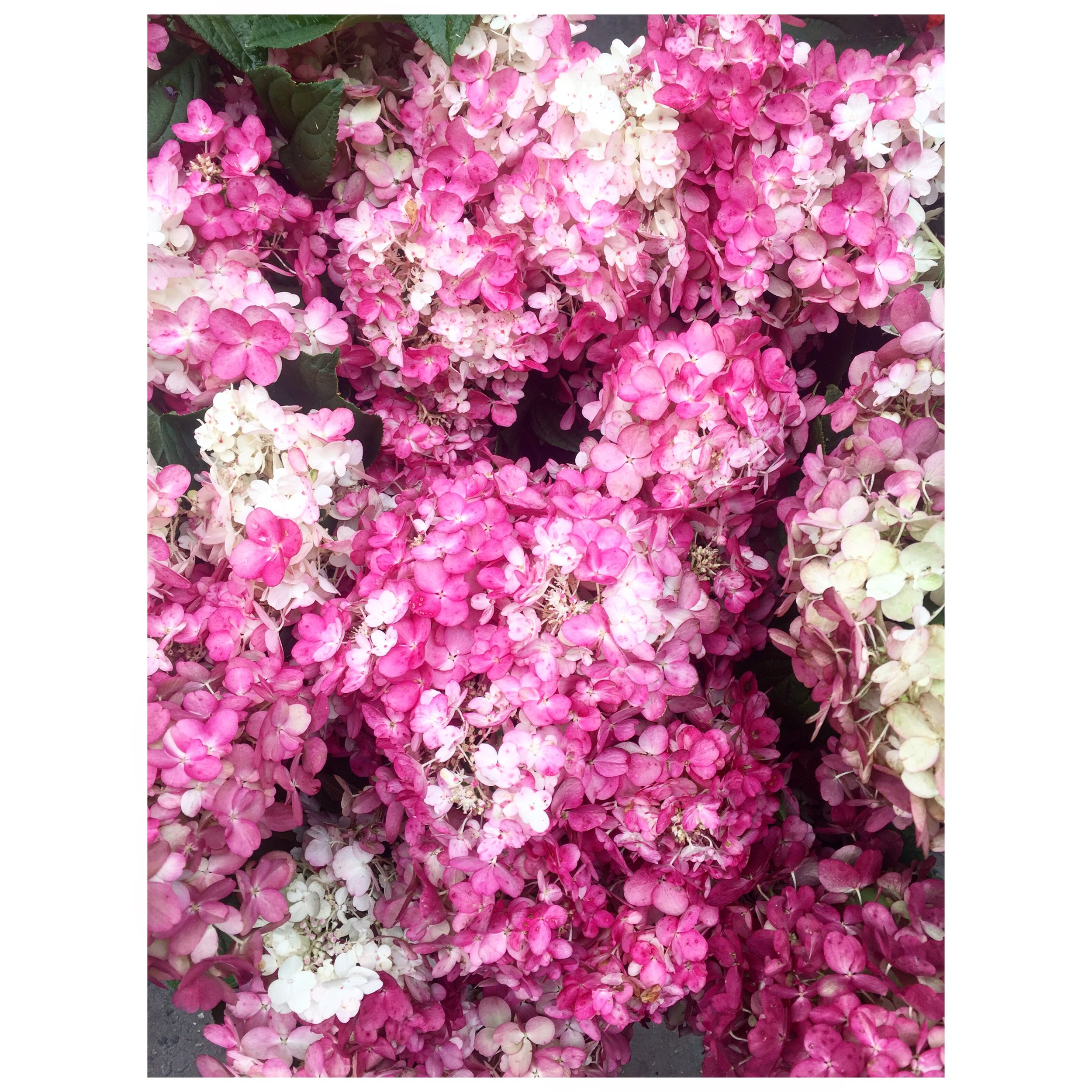 Hydrangeas at the Flower Market - that color!