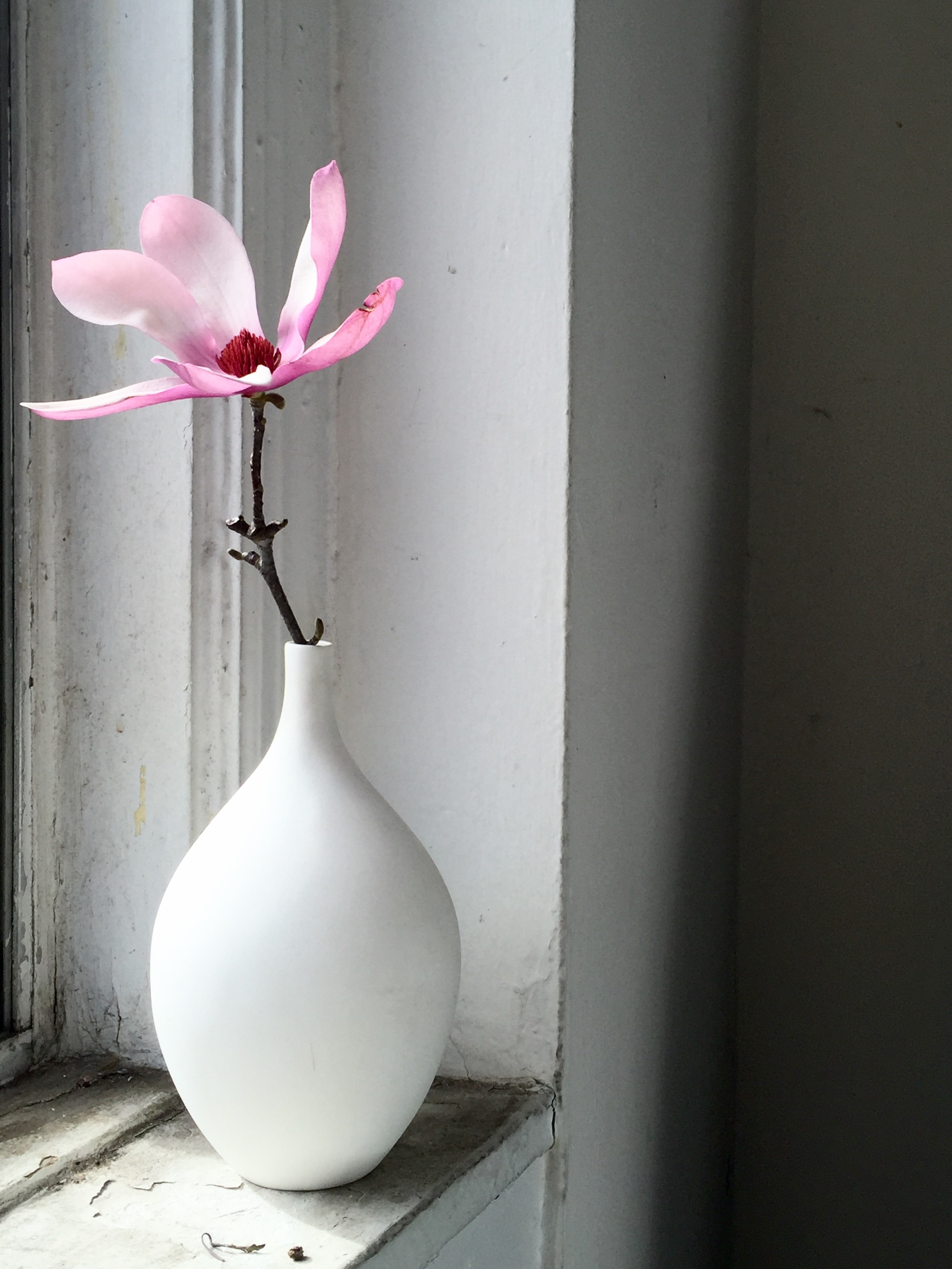The magnificent magnolia pulled for a shoot