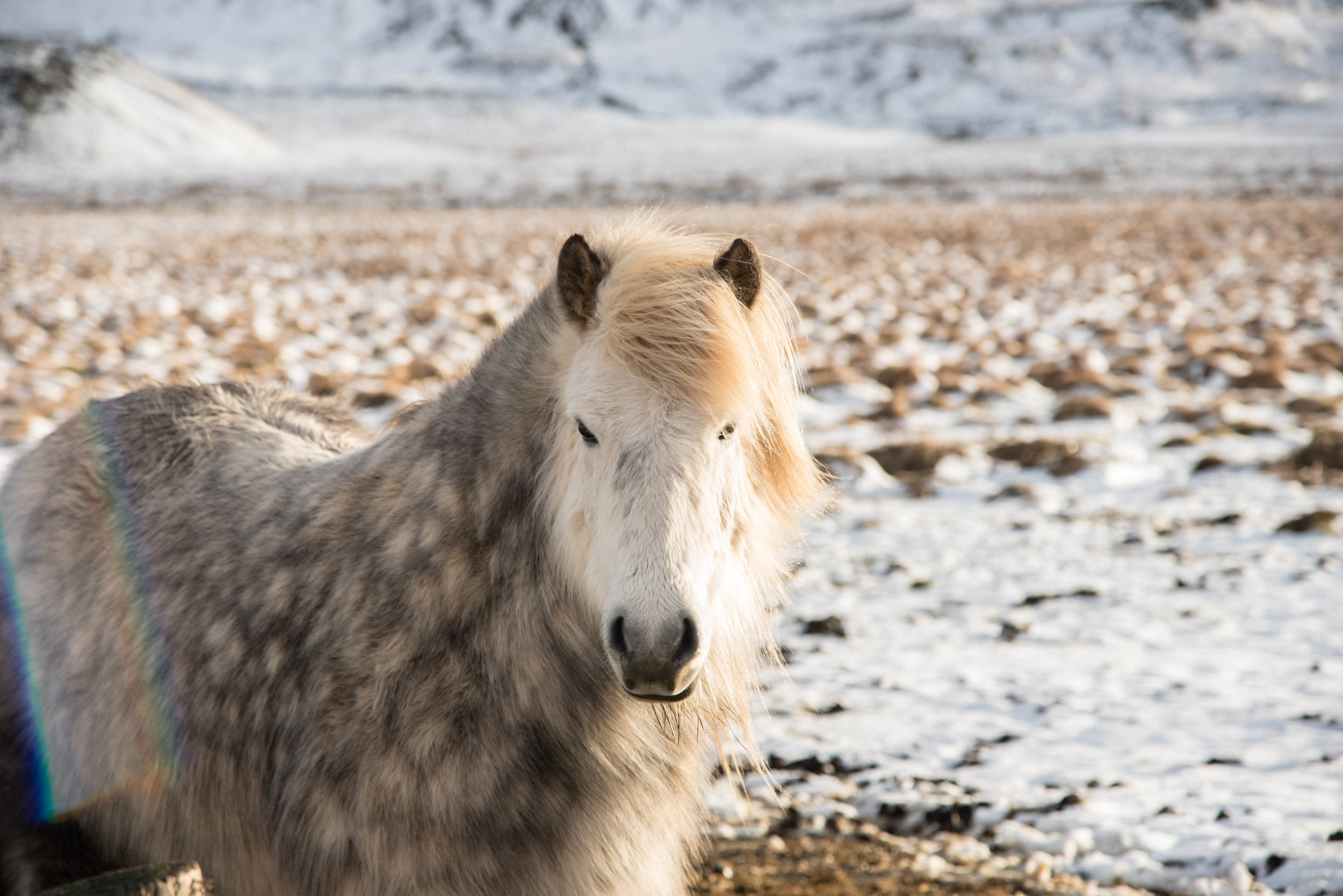 ROSE & IVY Journal Escape to Iceland | All the Wild Horses