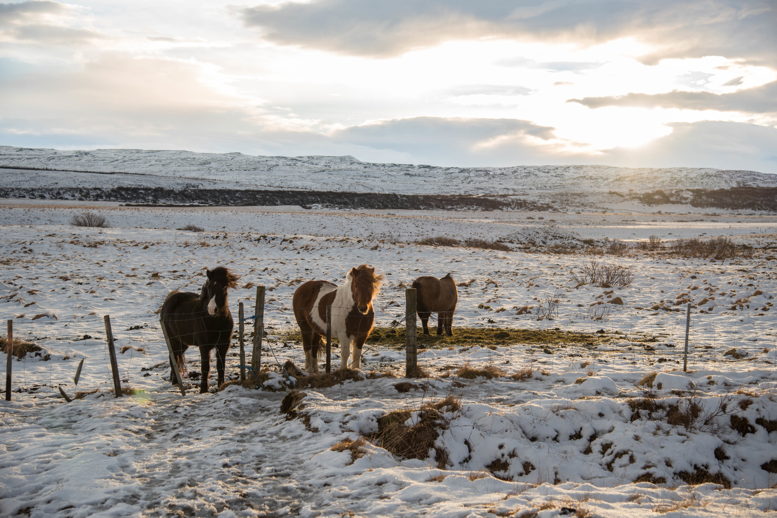 ROSE & IVY Journal Escape to Iceland All the Wild Horses