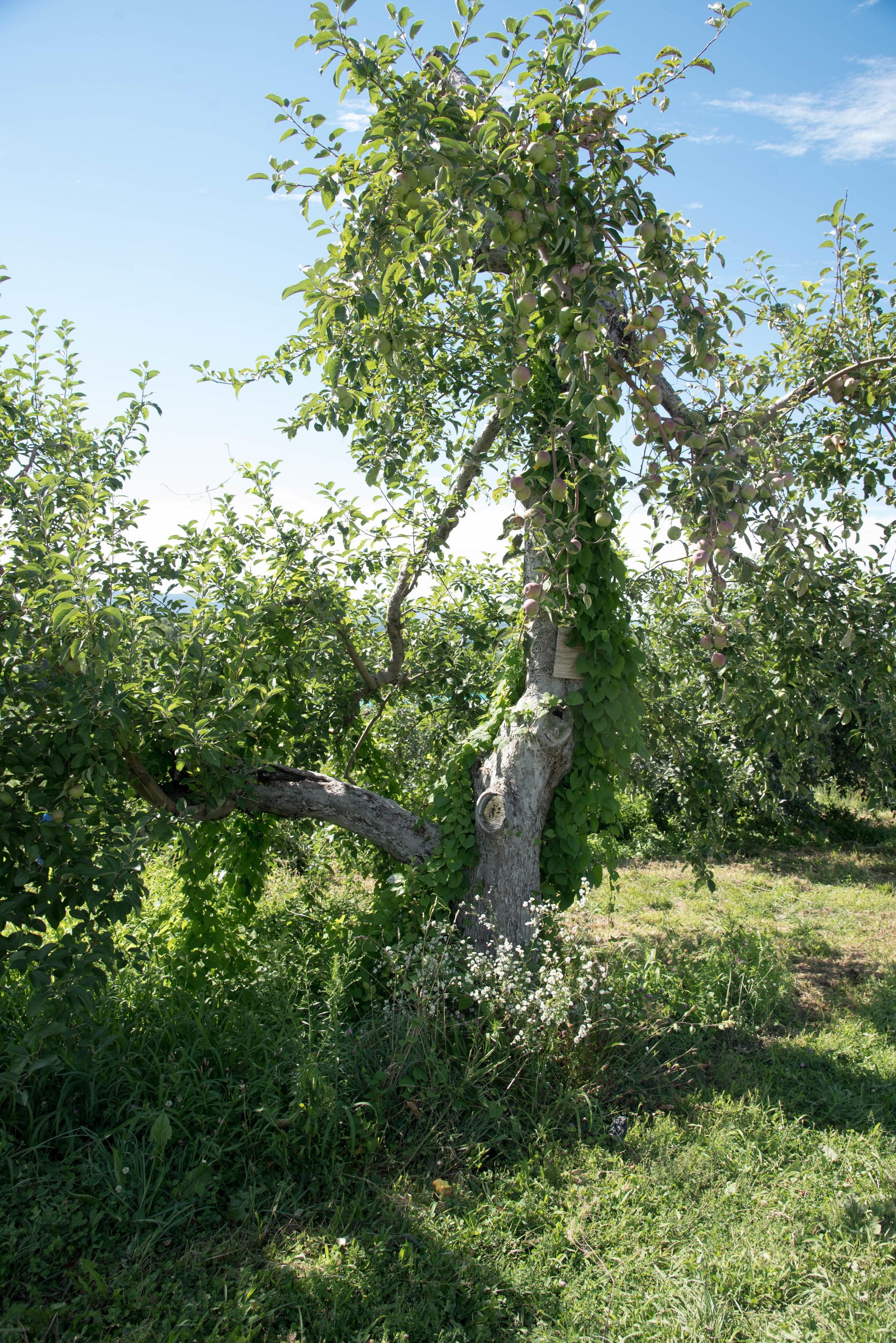 ROSE & IVY Journal Peach Picking and Peach Tart Tartin