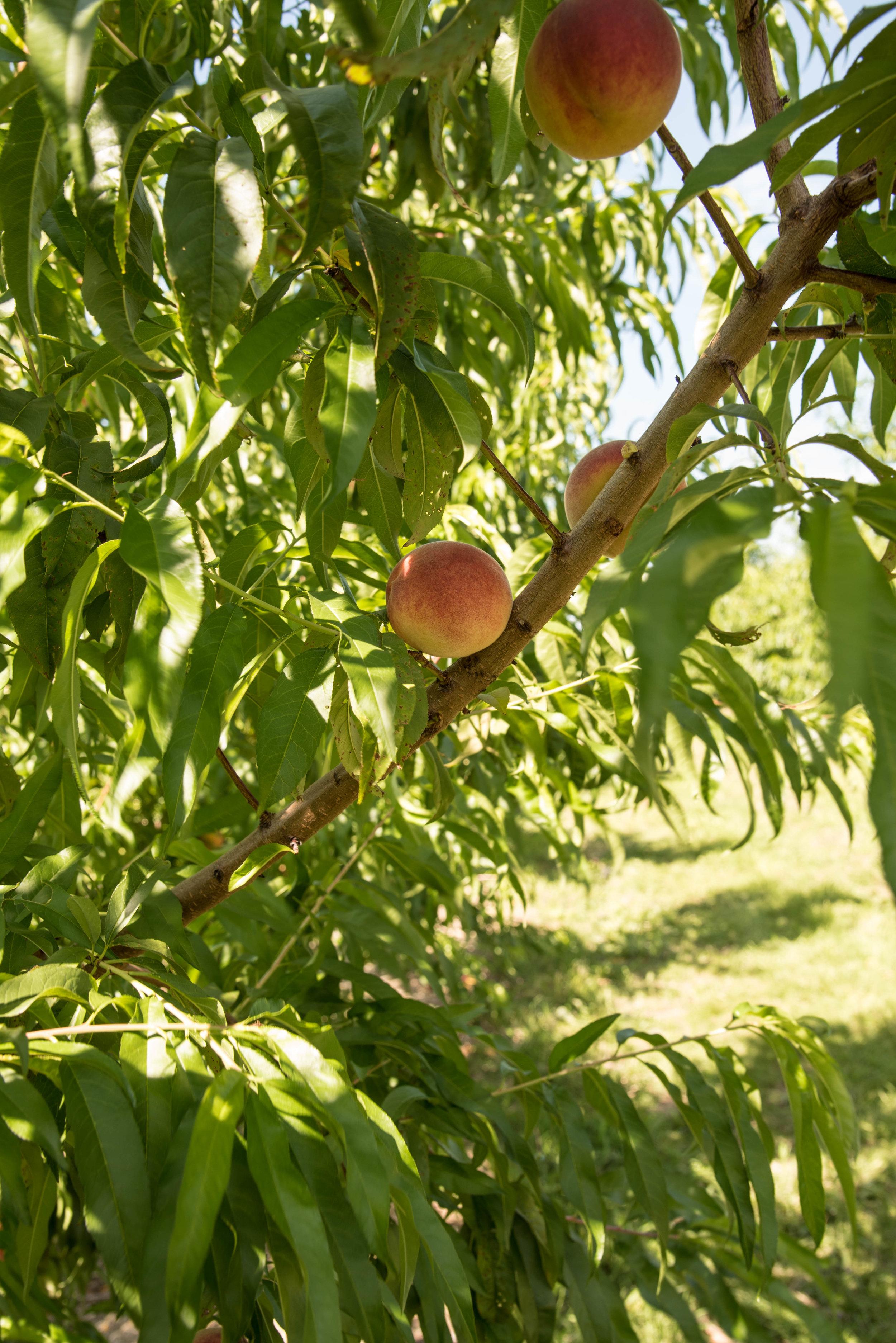 At the Market Peaches & Peach Tatin -