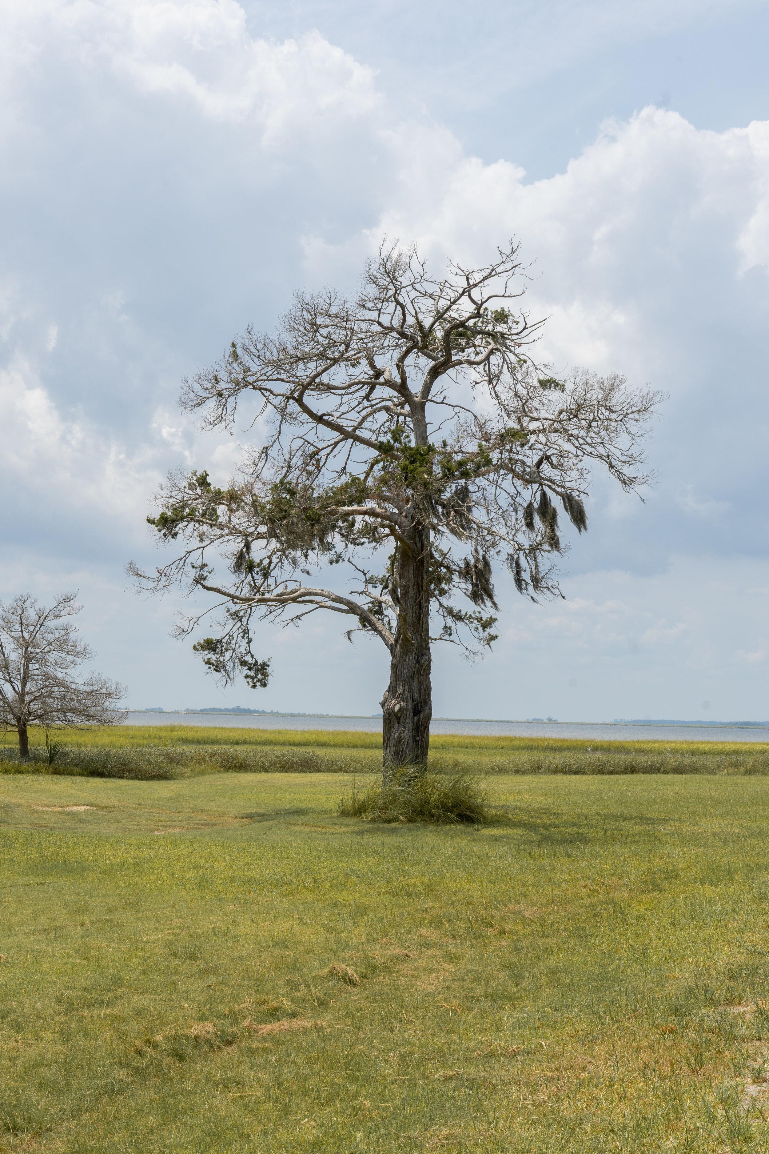 A Trip off the Coast Sapelo Island Tree