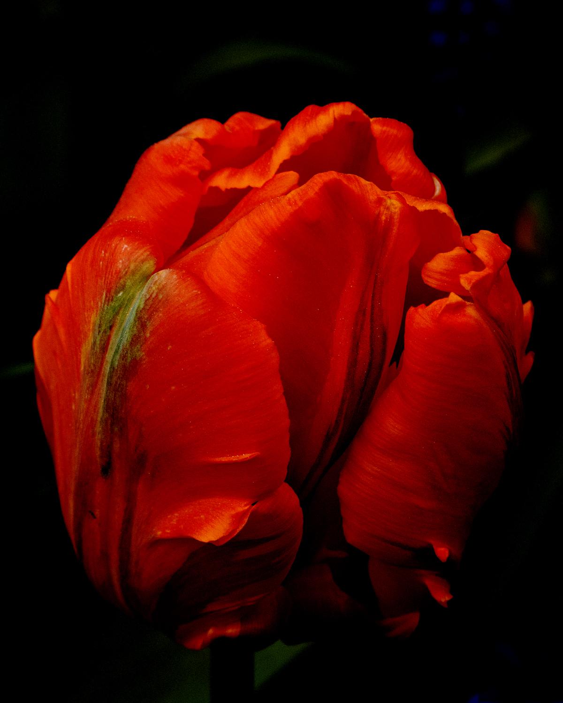 Tulip Bright