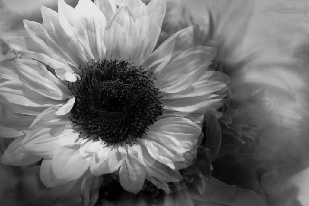 Sun Flower in Black and White