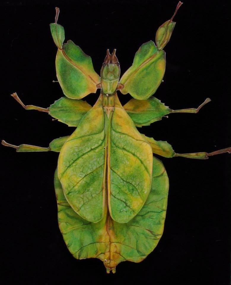 Walking Leaf (Phyllium Pulchrifolium)