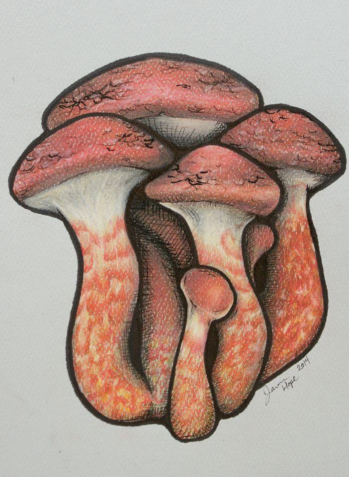 Painted Slipperycap  (Suillus spraguei)