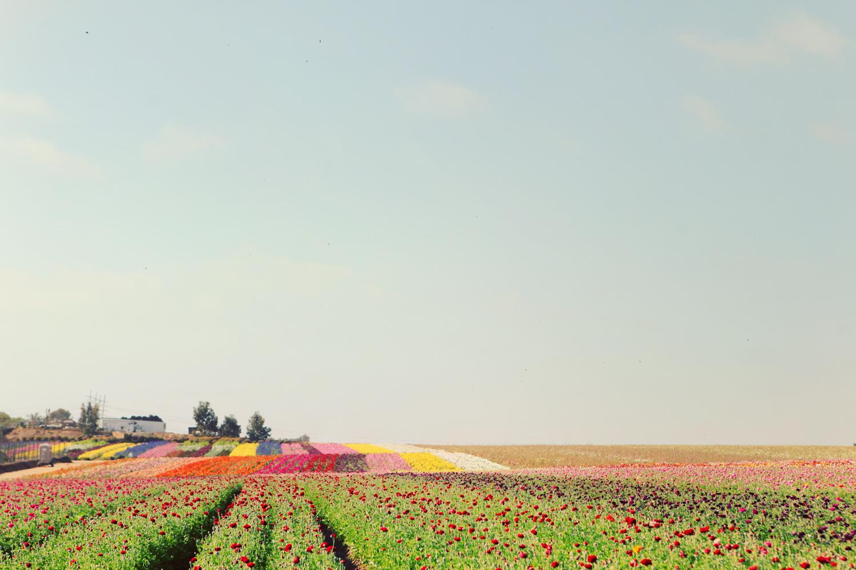CARLSBADFLORALFIELDS-CALIFORNIA-TRAVEL-AMANDAJULCA-01.jpg