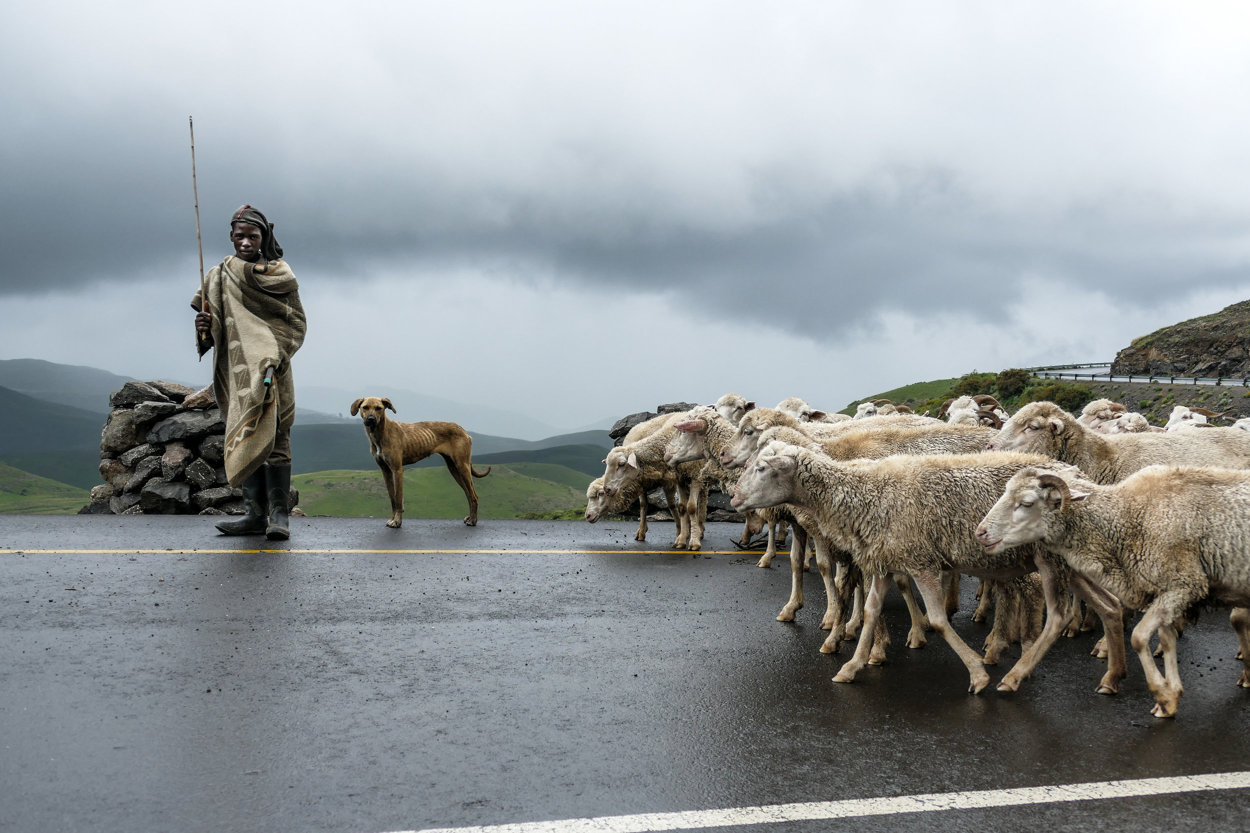 A Basotho shepherd boy in Lesotho travels with his father and flock of sheep.