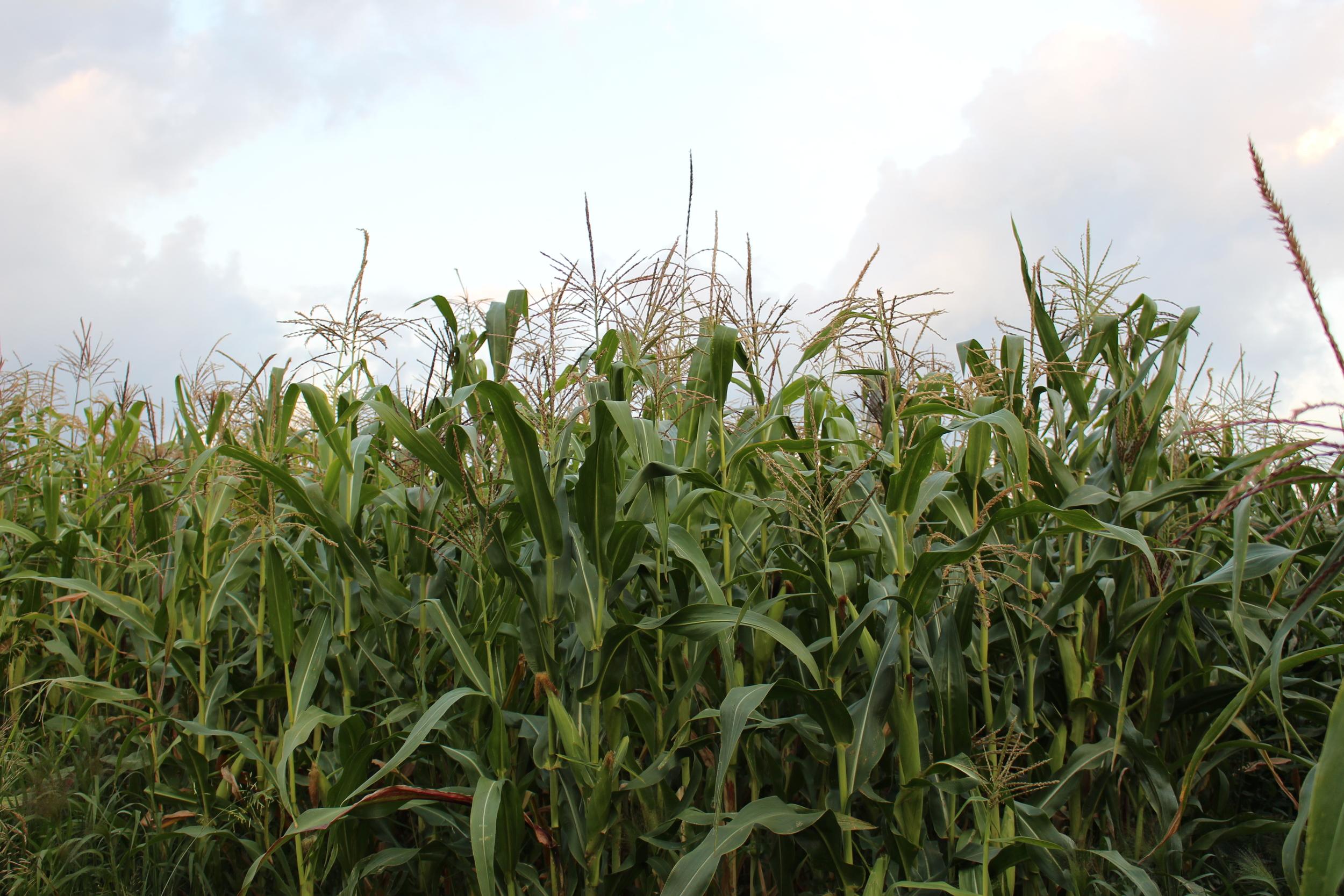 Tall and Beautiful Corn Field at Flynn Creek Farms LLC