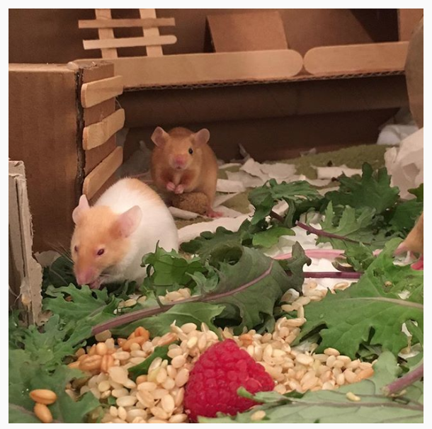 Buttercup and one-eyed Daisy eating baby kale, sprouted brown rice, and raspberries