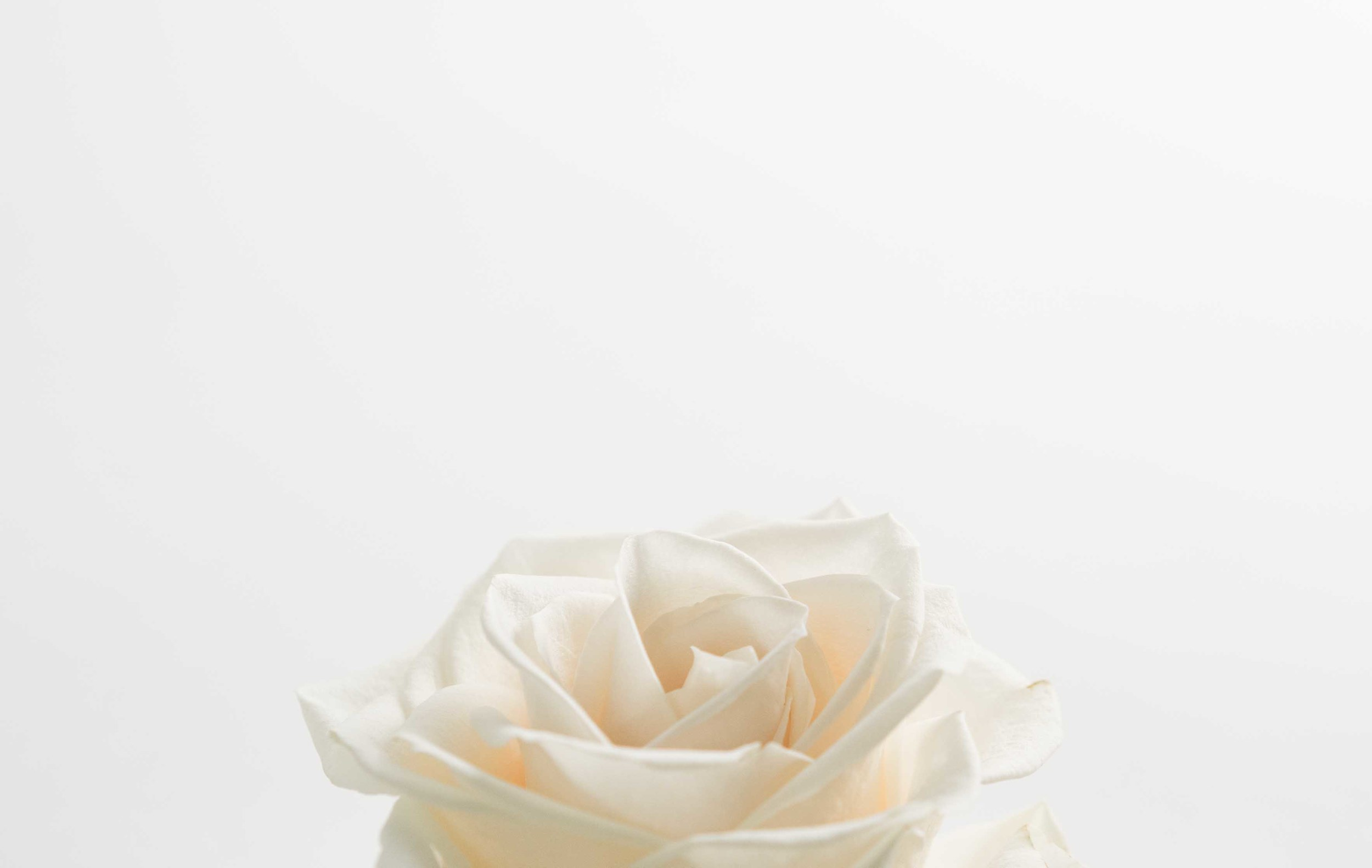 white-rose-squarespace.jpg