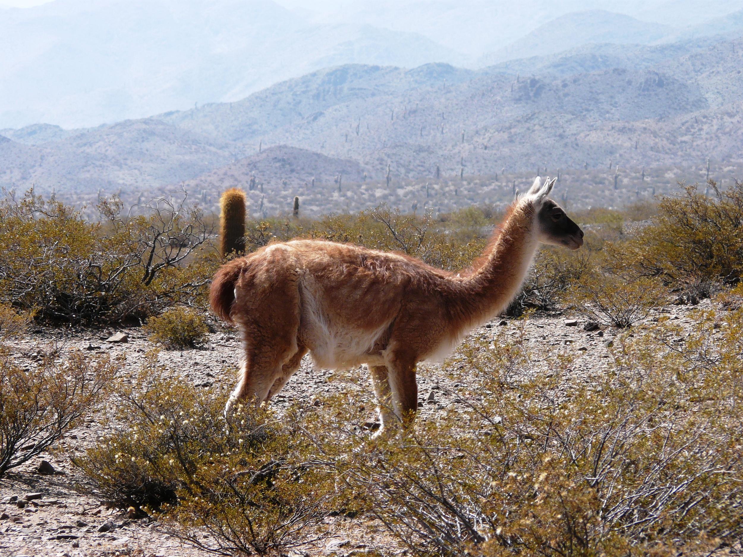 A guanaco ( Lama guanicoe )in theParque Nacional Los Cardones near Cachi, Argentina (2500 m elevation).