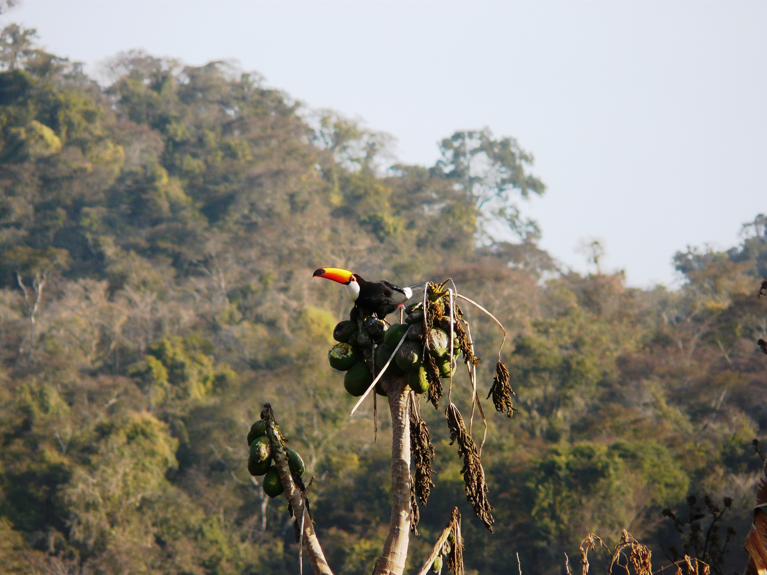A Toco Toucan (  Ramphastos toco )  forages in a tree the town of Isla de Cañas, Argentina (600 m elevation).