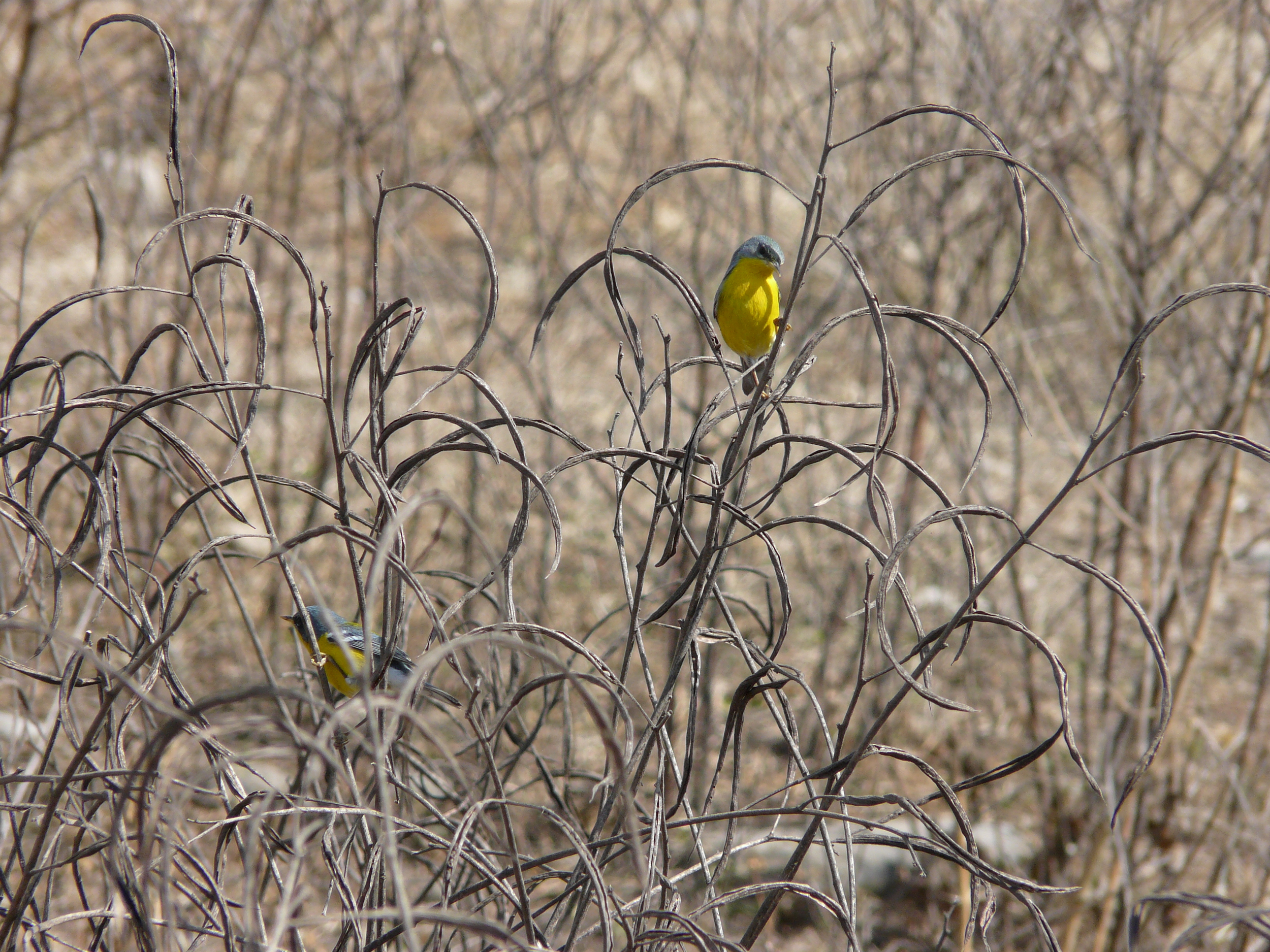 Tropical Parula ( Parula pitiayumi ) perched in dry vegetation in the town of Isla de Cañas (600 m elevation).