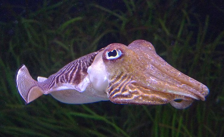 Common cuttlefish ( Sepia officinalis ) can grow to be up to  two feet long .  (Image by David Sim via  Wikimedia Commons )