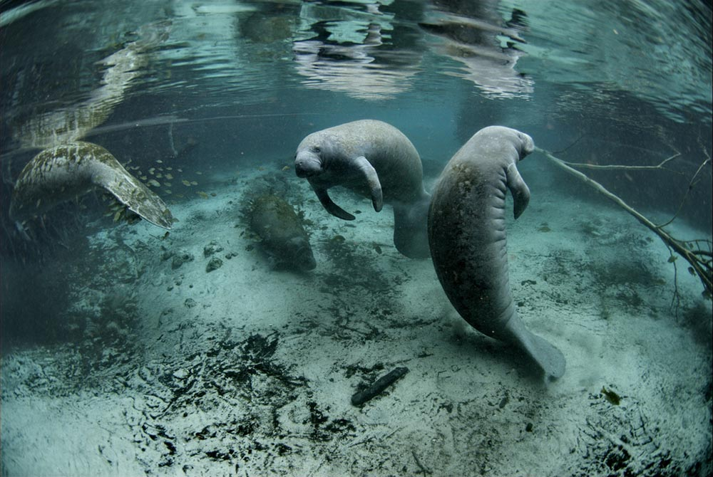 Florida manatees at  Crystal River National Wildlife Refuge , located on central Florida's gulf coast.   (Image by U.S. Fish & Wildlife Service/David Hinkel via  Flickr )