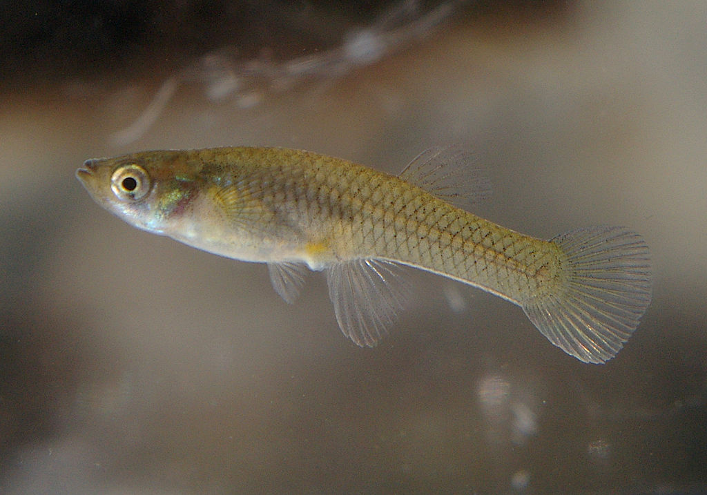 Western mosquitofish are often intentionally introduced to ponds and lakes in an effort to reduce mosquito populations; such introductions can have  unanticipated negative  consequences.  (Image by NOZO via  Wikimedia Commons /Creative Commons license)
