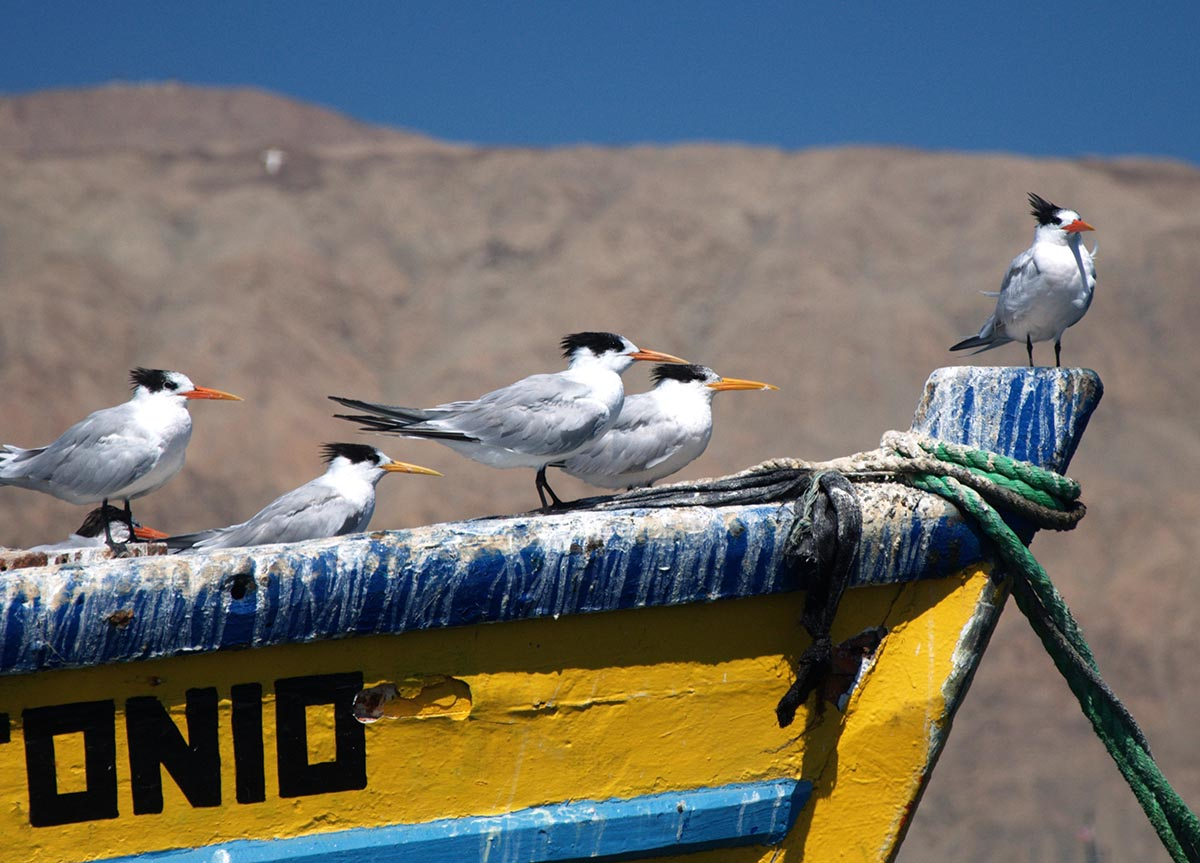 A group of elegant terns on a fishing boat in Chile.  (Original image by tk-link via  Flickr /Creative Commons license)