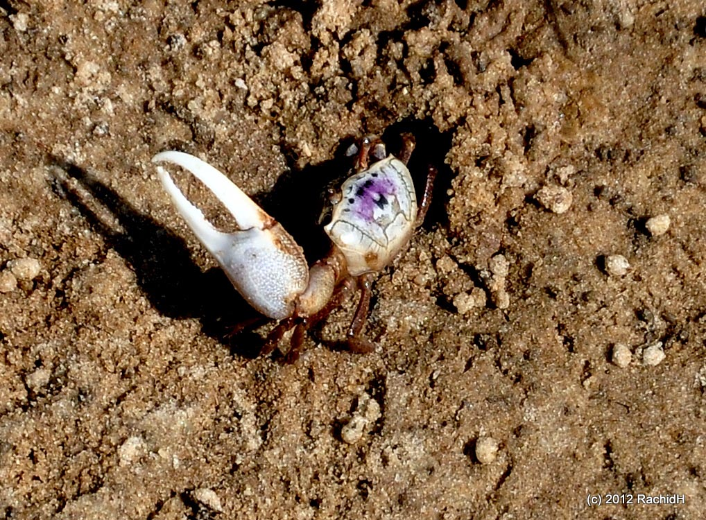 A male sand fiddler crab will try to attract females to its breeding burrow by waving its large claw in circles above its body.  (Image by Rachid H via  Flickr /Creative Commons license)