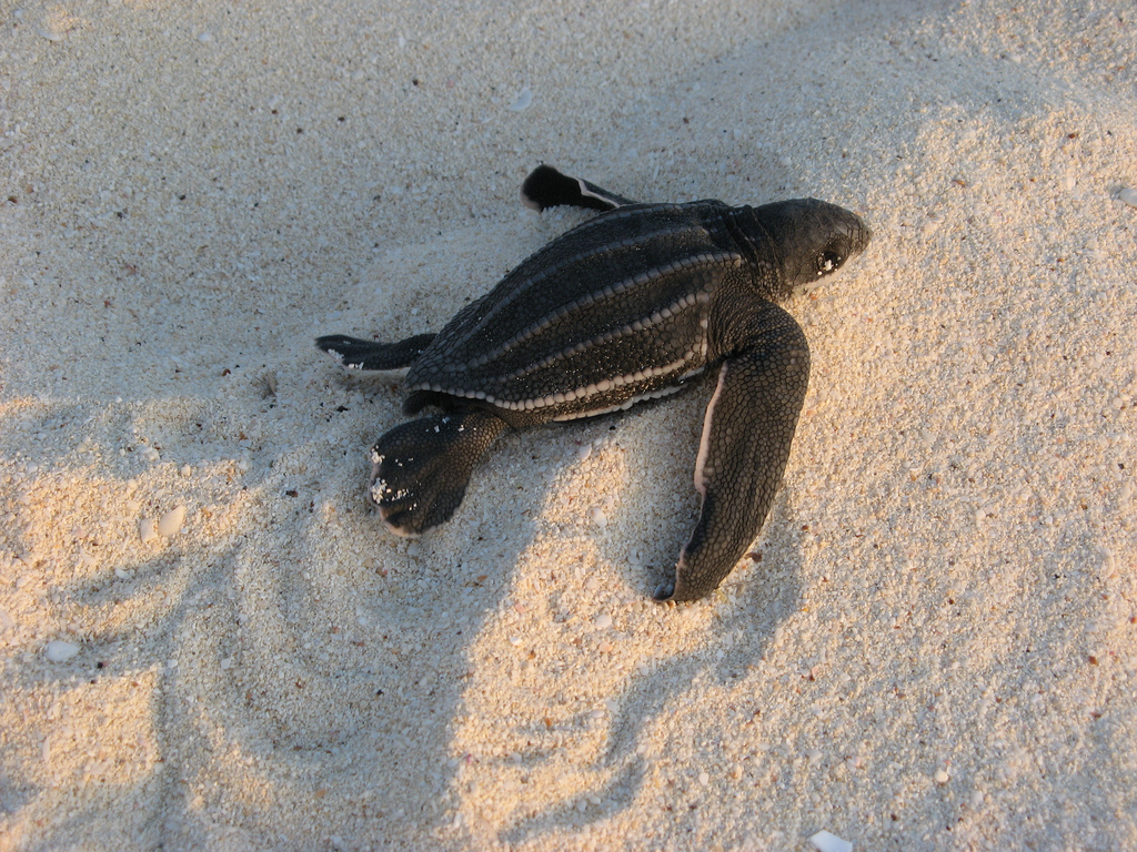 A leatherback hatchling makes its way to the ocean.   (Image by Ken Clifton via  Flickr ; creative commons license)