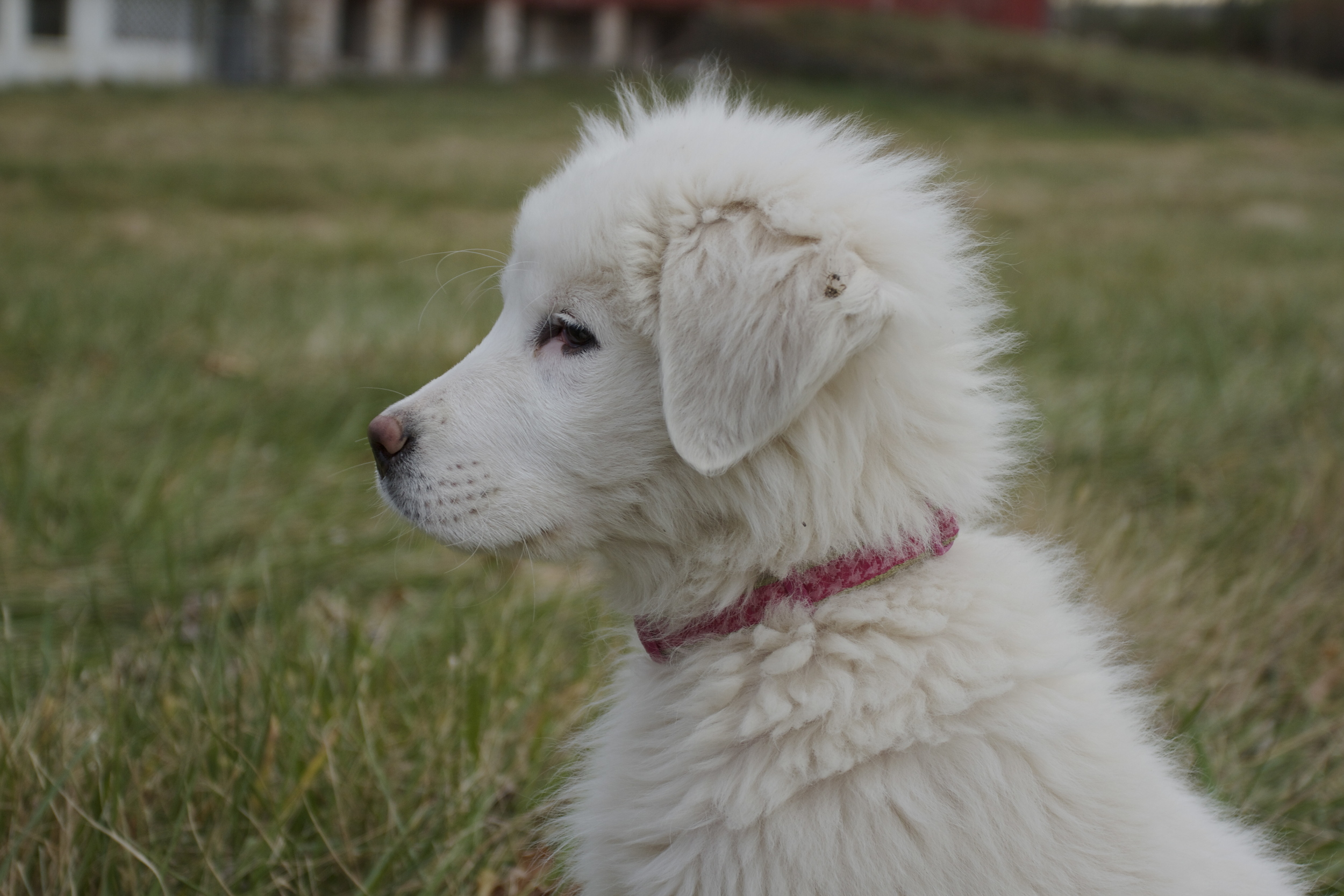 Belle -- She is a smart, intense, protective pup who is always one step ahead of us