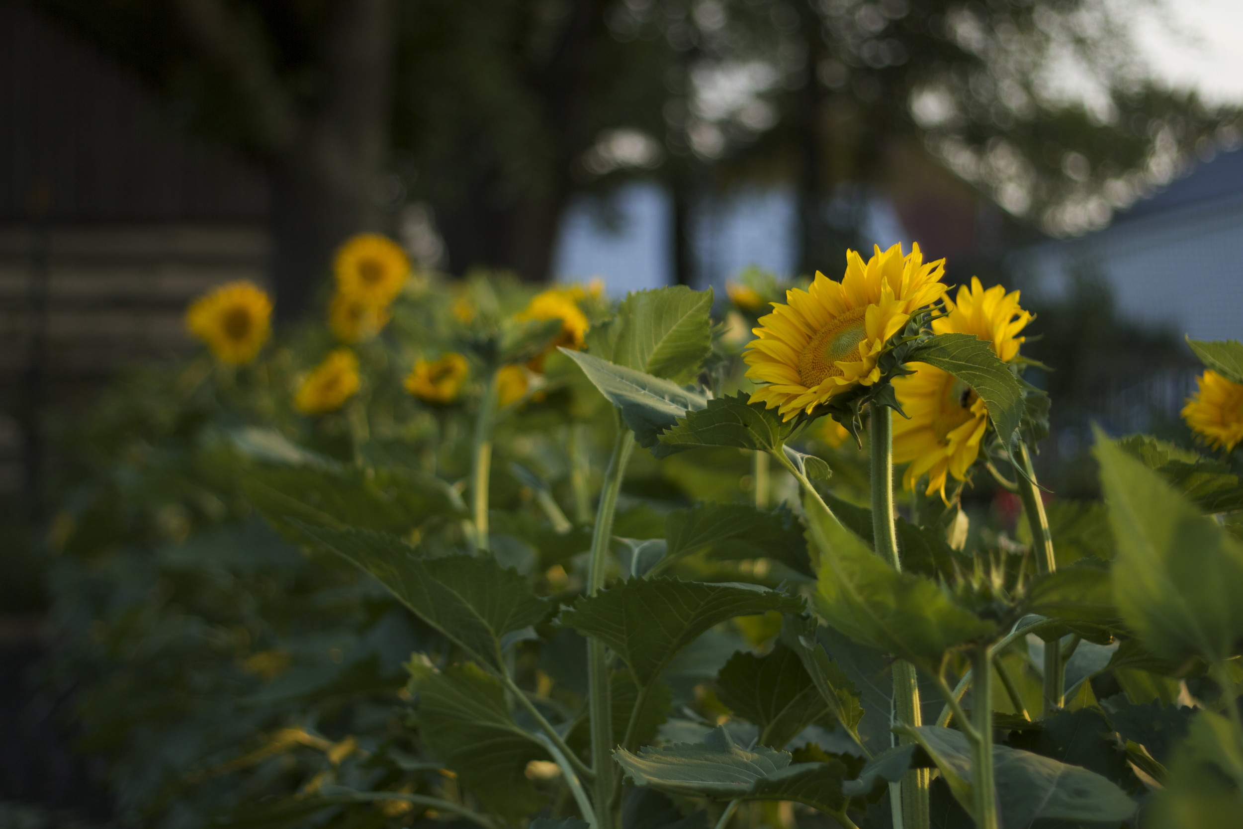 I have a new appreciation for sunflowers after watching them stretch towards the sun all summer
