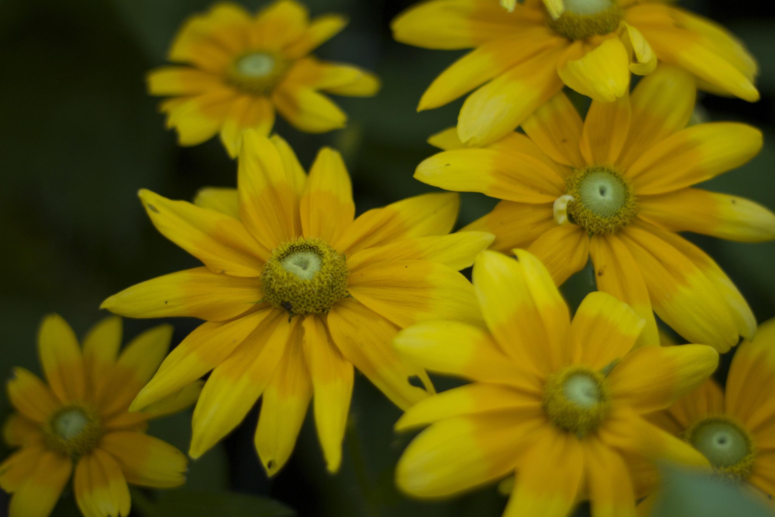 Rudbeckia Prairie Sun --the bugs love it... ;)