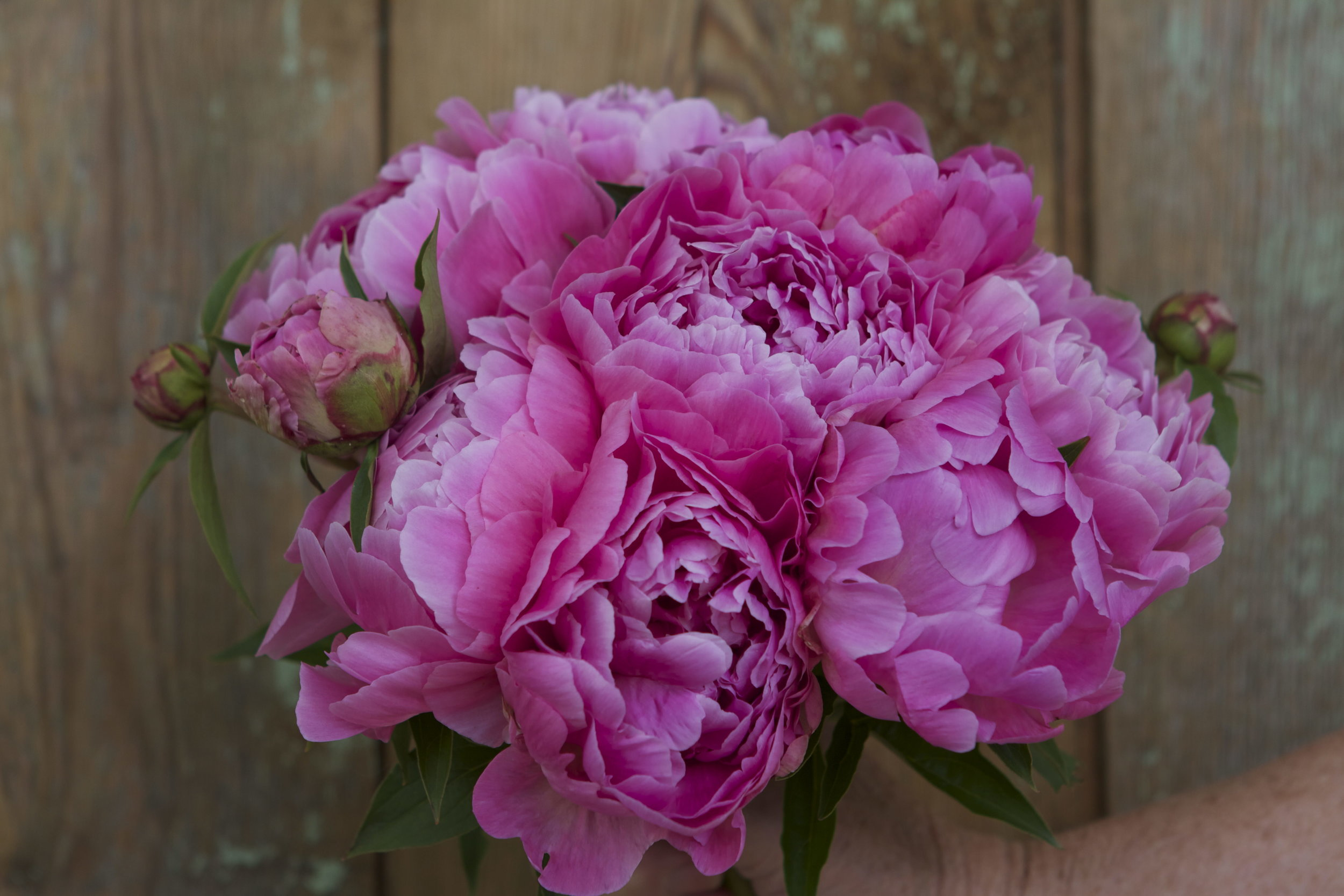 """Peony """"Normie"""" is quite a showoff."""
