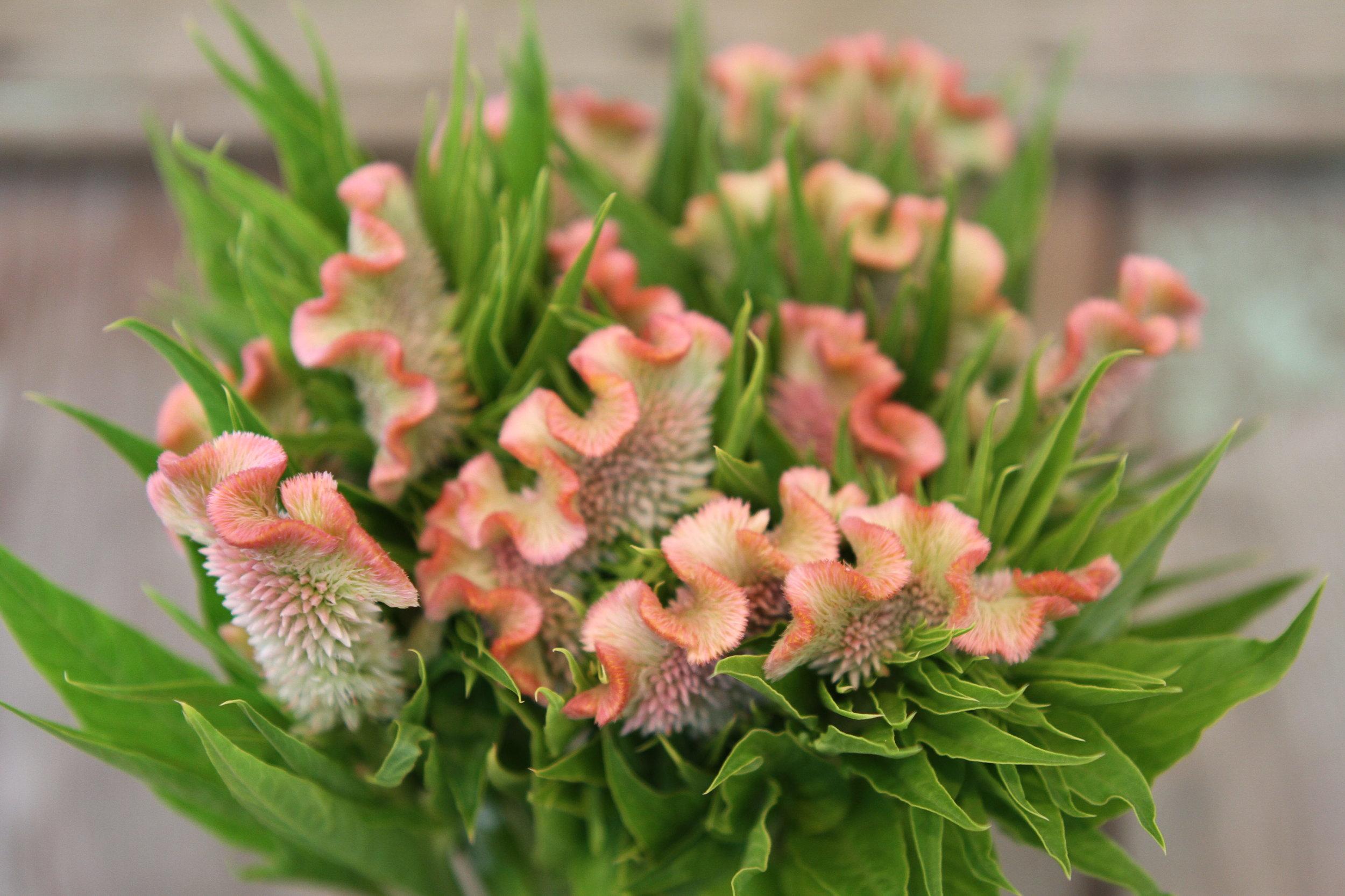 Delhi Pearl Celosia