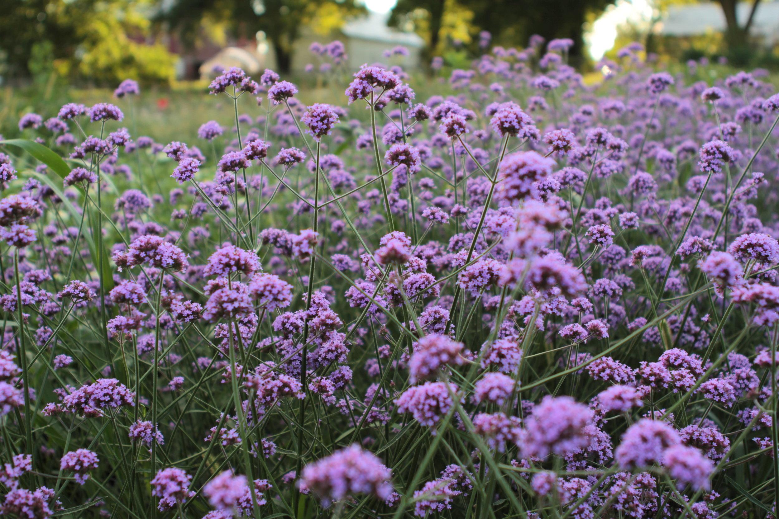 Verbena - Not a great cut, but definitely a pollinator favorite!