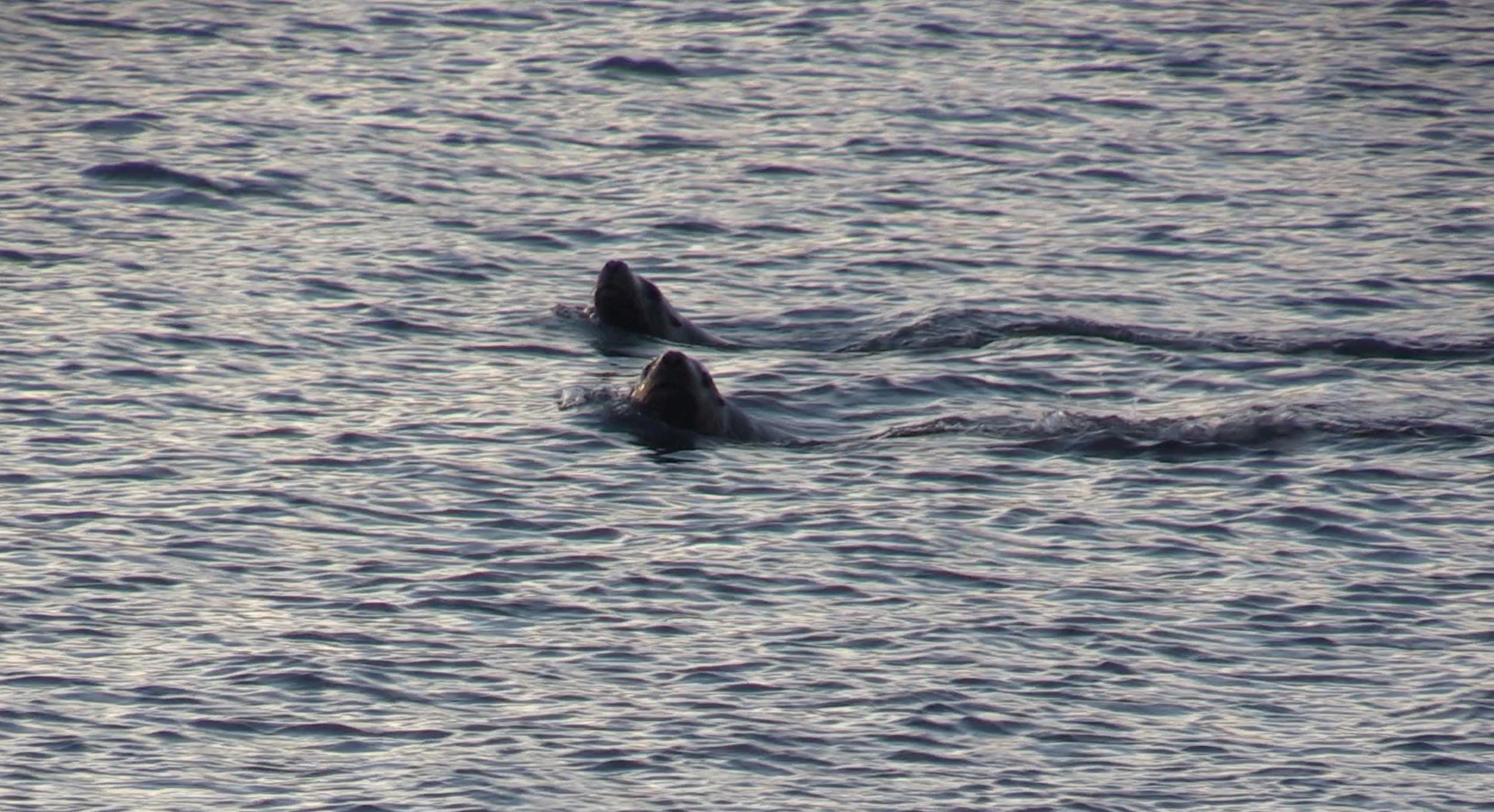 Trolling sea lions