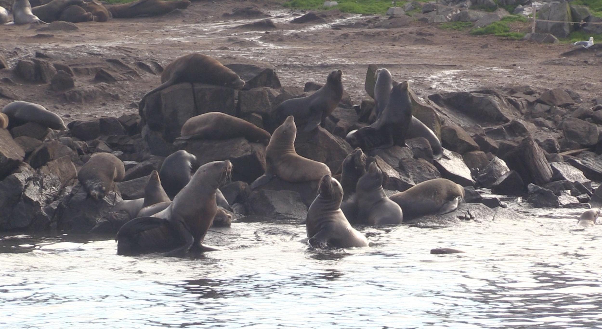 Sea lions at Race Rocks