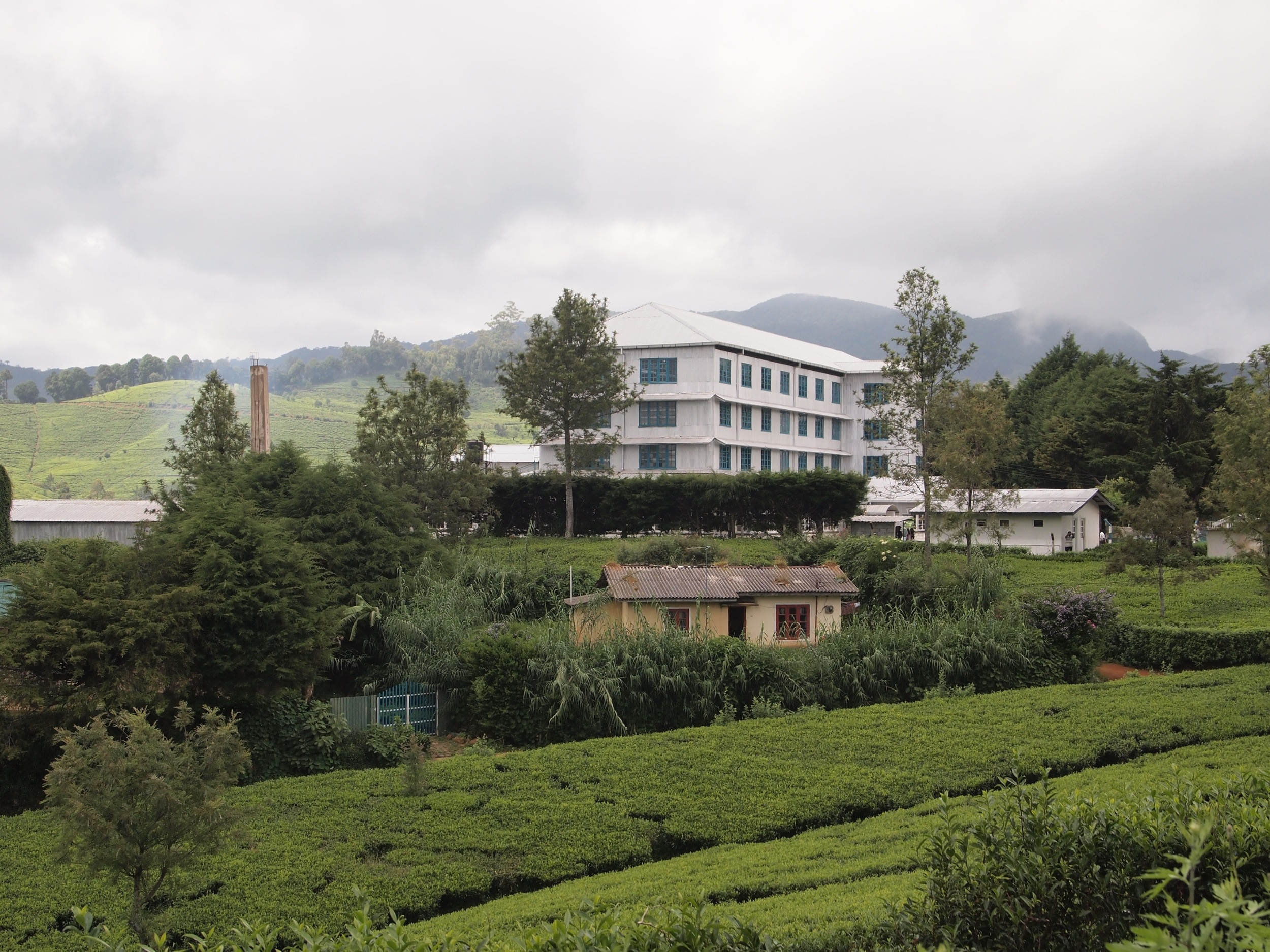 Surrounded by tea bushes